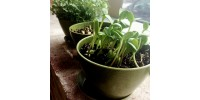 Biodegradable pot and saucers 4 inches